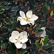 Magnolia Little Gems